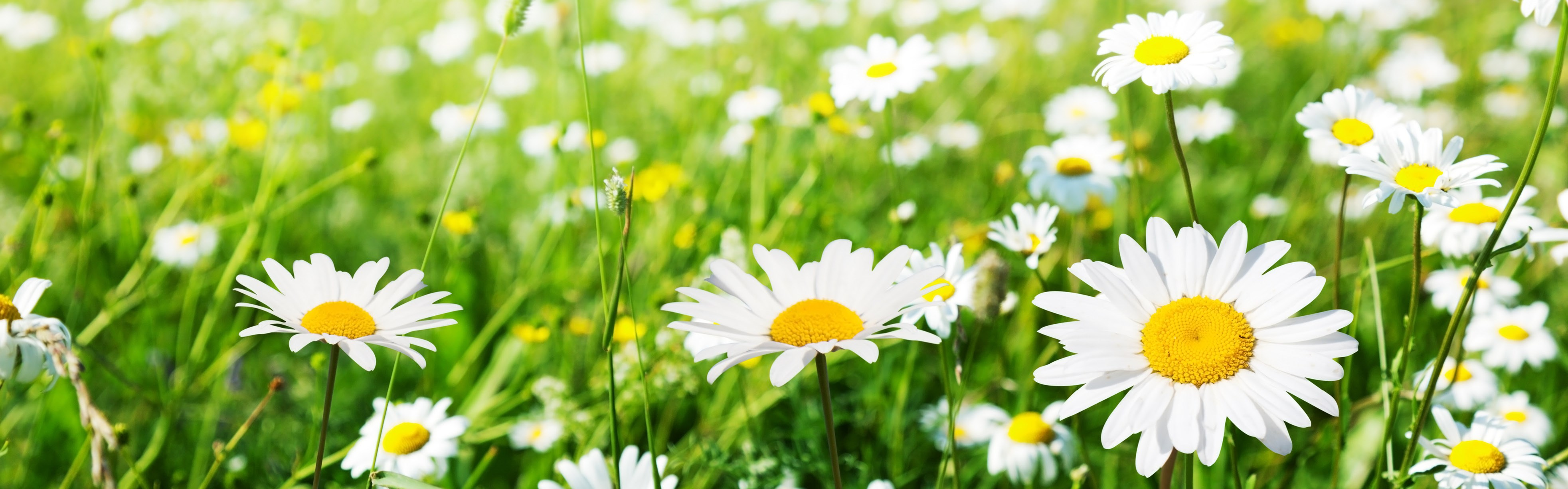 A Field of Daisies